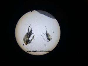 Algakon taller zooplacton