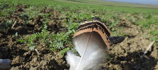 aves esteparias Cobre Las cruces - Algakon